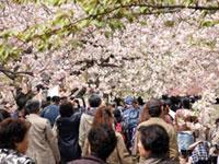 もうすぐ桜の季節ですね。